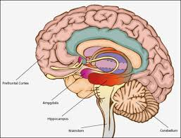 Amygdala, Hippocampus, Prefrontal cortex